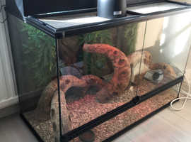 Bearded Dragon and set up.