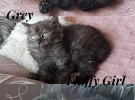 Unusual Grey Fluffy Kittens (Persian Chinchilla Mixed)