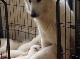 KC white Swiss shepherd puppy