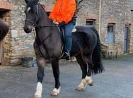 Beautiful Hackney gelding