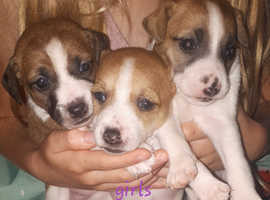 4 short hair jack russell puppies