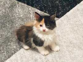 B x longhaired kittens for sale