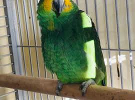 Beautiful baby orange wing Amazon talking Parrot