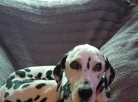 WANTED  Dalmatian to love again