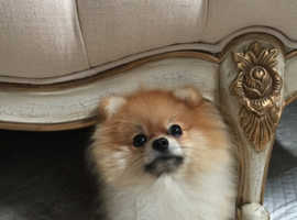 mini pomeranian ready to meet girlfriend ONLY FOR STUD not for sale!!!!!!