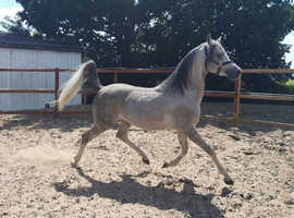 Wanted experience person to work and school 3 Arabian Horses in Dewsbury