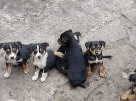 Border collie x kelpie puppies - ready now