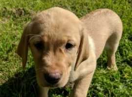 Chocolate Labrador Puppies In Newcastle Upon Tyne Pets For