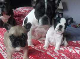 French Bulldog Pups.