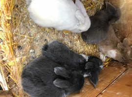 Lovely baby lop eared rabbits