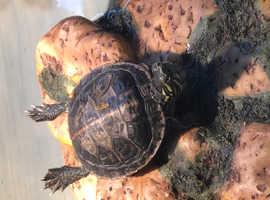 Turtle (Painted)