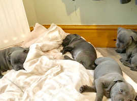 Blue KC reg STAFFY puppies - ready to go