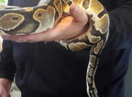 Female ball python het for albino