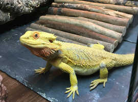 Citrus Bearded Dragon & set up for sale
