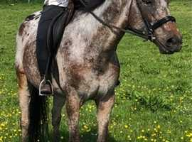 Safe and sensible gelding