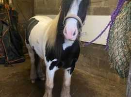 Approx 13.2 four year old mare