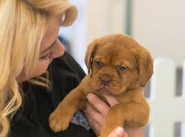 Beautiful chunky Dogue de Bordeaux puppies for sale - ready to leave
