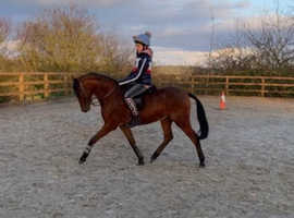 13hh all rounder / show pony / whp