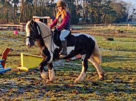 14.2hh stunning cob cross mare