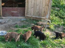 Sheepdog Puppies