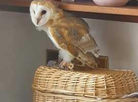 Baby barn owl!!