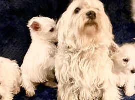 Westipoo puppy's