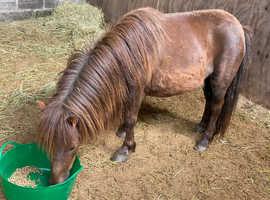 Stunning Shetland mare