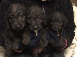 Beddlington cross Dacshund puppys