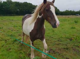 Pretty young mare