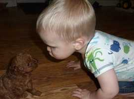 very deep red female toy poodle puppy