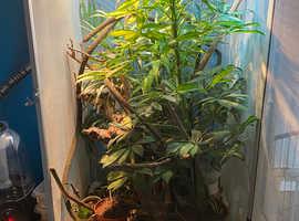 Veiled Chameleon and set up for sale