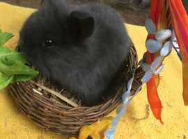 Gorgeous baby lionheads for sale (2 left)