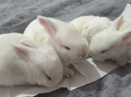 Luxury rare breed pure white baby bunnies