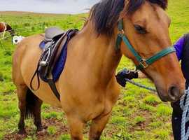 True Dun pony for sale- Registered part bred highland