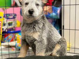 Kc reg Australian cattle dog puppies
