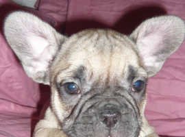 Fawn French Bulldogs Ready Now
