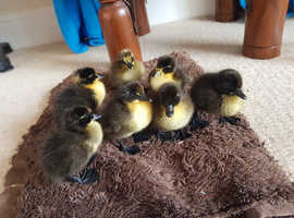 *3 left* Day old ducklings hatched 25/26th may