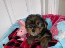 Miniature Yorkshire terrier puppy for sale