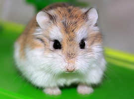 Dwarf hamster wanted
