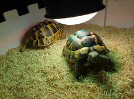 2 x spur-thighed tortoise