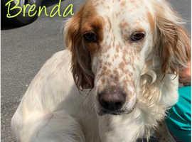 English Setter, Brenda, 3 years