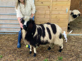 Valais Blacknose X Jacob wether lamb for sale