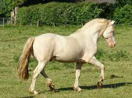 Welsh Section D perlino stallion