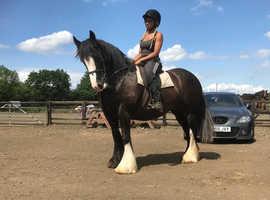 Sarah 15.1hh chunky cob mare!