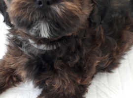 SHIHPOO PUPPY RED AND BLACK