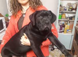 Cane corso x presa canario puppy for sale