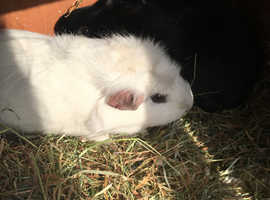 Cute 6 months old Guinea pigs cant be separated because sisters at the moment are called snowy and hidy