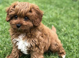 Looking for 1x F Cavapoo puppy