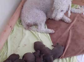 Beautiful kc Reg , CT clear liver bedlington terriers puppies