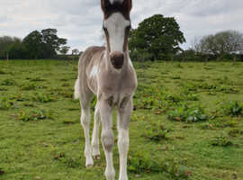 Stunning filly foal!